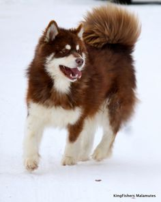 red alaskan malamute...PLEASEEEE!