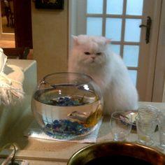 cat Vs fish in bowl