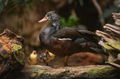 With fewer than 250 remaining in the wild, hopes are high that a pair of rare white-winged ducks hatched at the Chester Zoo can boost this endangered species.