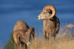 Top Unexpected Offerings at Montana State Parks.Bighorn sheep graze on Wild Horse Island. Wild Horses, State Parks, Montana, Sheep, Cabin, Island, Adventure, Country, Top