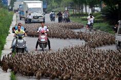 Sitting Ducks: Bemused commuters in Taizhou, in China's Zhejiang province,...