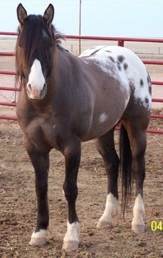 Grulla Appaloosa Stallion