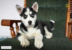Siberian Husky Puppy for Sale #siberianhuskyforsale