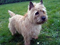 Google Image Result for http://www.dogpuppypictures.com/images/cairn_terrier/cairn_terrier_11.jpg