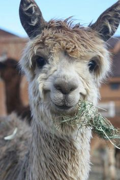"I pass a farm with alpacas on the way to work every morning. And I say ""Good morning, alpacas! Smiling Animals, Happy Animals, Farm Animals, Animals And Pets, Funny Animals, Cute Animals, Wild Animals, Alpacas, Cute Creatures"
