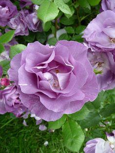 Rose 'Pacific Dream', Les Rosiers de Saint Aubin, Journées des Plantes de Courson, Printemps 2012, Domaine de Courson, Courson-Monteloup (Essonne), 18 mai 2012, photo Alain Delavie.