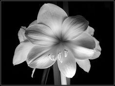 Black and White Amaryllis II