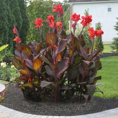 Gardening With Containers Canna Tropicanna Black. A vigorous canna with glossy, dark maroon leaves and brilliant, red-orange flowers. Grows to 4 feet in just a few months. Suitable for gardens, landscaping and containers. Canna Lily Landscaping, Tropical Landscaping, Landscaping Plants, Front Yard Landscaping, Landscaping Ideas, Inexpensive Landscaping, Landscaping Software, Exotic Flowers, Orange Flowers
