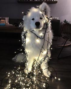 Notre sapin est pret #jonsnow #samoyed #christmas #noel