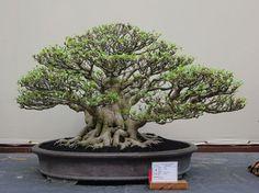 bonsai indonesia at DuckDuckGo Bonsai Ficus, Bonsai Art, Bonsai Plants, Bonsai Garden, Bonsai Trees, Shrubs, Granada, Entrepreneurship, Abandoned