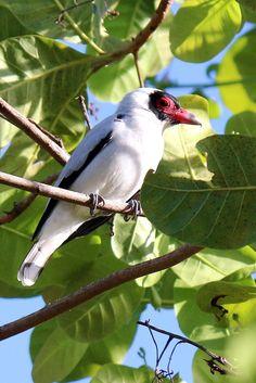 Maskertityra -  Masked Tityra - Anambé-branco-de-máscara-negra ou Araponguinha-de-rabo-pintado (Tityra semifasciata)