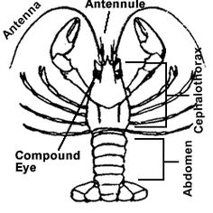 4de168692937fb7e244eaa40ec5d4024 cycle 1 week 7 fill in the blank crayfish worksheet classical on crayfish worksheet