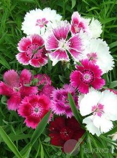 China Chinese Pink Perennial Flower Seed 80 Seeds Dianthus chinensis Garden   eBay