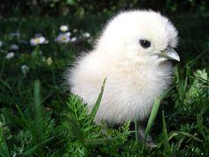 Pippi! #silkie #chick #chicken