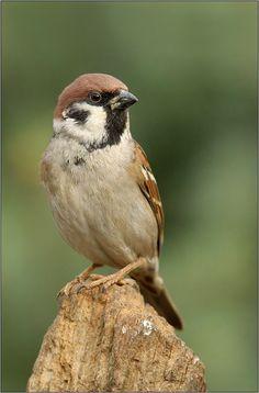 Animals And Pets, Baby Animals, Cute Animals, Small Birds, Pet Birds, Funny Parrots, Sparrow Bird, Australian Birds, Funny Birds