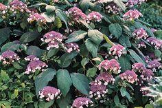 Hydrangea sargentiana  (Hortensia) har ikke noget dansk navn. Den udvikler sig til en stor busk eller et lille træ 1-4 m højt. Den blomstrer i august. Bladene er dækket af de blødeste hår, der giver planten et fløjlsagtigt skær. Det er en plante, der først må plantes, når den kan tilbydes en beskyttet, let skygget vokseplads i en fugtighedsbevarende, sur jord. Under disse forhold kan den udvikle sig til havens allersmukkeste busk. Sol, vind og tørke gør den til et ynkeligt skue.