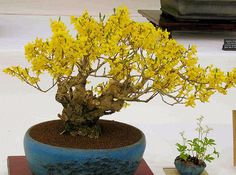 Forsythia are a stunning bonsai that are at their best this time of year due to the bright yellow flowers that signify the start of Spring. The flowers form . Bonsai Plants, Bonsai Trees, Spring Starts, Something Beautiful, Yellow Flowers, Terrarium, Leaves, Gardening, Planting