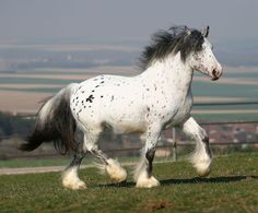 Hermit Ghost William, a registered purebred Gypsy Vanner horse. He is a bay leopard appaloosa. Note the white hairs mixed in with his black mane, and the dark 'kneecaps' on his legs.