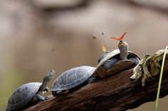 So TIL that there is such a thing as tear drinking and it's not so weird after all. Well, when butterflies do it, anyway. Ama la Vida TV captured these photos of butterflies drinking the tears of turtles in Ecuador. The behaviour is known as 'lachryphagy' and it's not just butterflies sucking up those salty […]