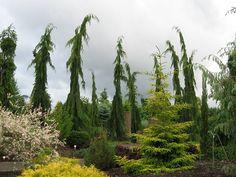 Strict weeping Alaskan cedars at The Oregon Garden. The eighty-acre garden includes a Conifer Garden (above), a Sensory Garden, Market Garden, and several others.