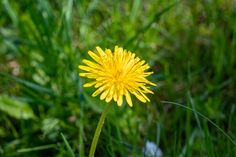 Close Up, Dandelion, Plants, Garden, Photography, Fotografie, Garten, Photograph, Dandelions