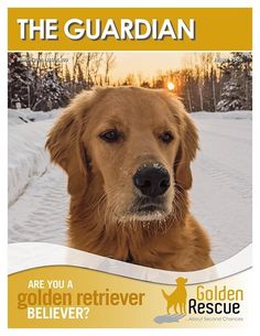 Golden Retriever Rescue, Latest Issue, The Guardian, Rescue Dogs, Website, Swag