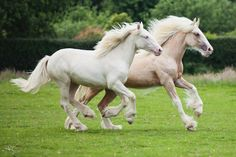 Running beauties, heste, horses, white, grass, movement, beauty, beautiful, furry, gorgeous, photo