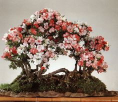 Raft-style, or Netsuranari bonsai mimic a natural phenomenon that occurs when a tree topples onto its side . Flowering Bonsai Tree, Bonsai Tree Types, Ikebana, Plantas Bonsai, Bonsai Styles, Miniature Trees, Bonsai Garden, Growing Tree, Small Trees