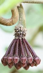 Nature macro.This is a wax plant. Each one of the little buds opens into a tny, waxy, fragrant flower!