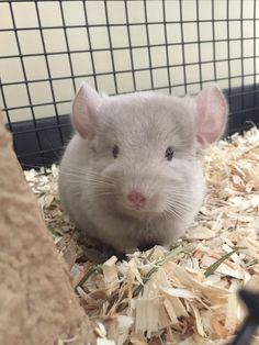 Meet Winston little pink chinnie nose and ears #aww #cute #chinchilla #chinnies #chinchillasofpinterest #cuddle #fluffy #animals #pets #bestfriend #boopthesnoot #itssofluffy #rodents
