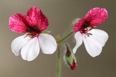 Гибриды P. x 'Splendide' и P. x 'White Splendide' - Видовые пеларгонии