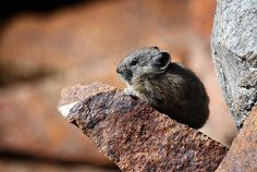 Congratulations to the winner of this week's Wildlife Wednesday! We couldn't resist the adorable pika photo posted by Jeff Lear. He took this at Tioga Lake on the Eastern Sierra. Thank you to all who submitted-it was a really tough choice, but you'll have weekly chances to win. Love wildlife? Like and share the National Wildlife Federation's California page for more great photos and to help protect nature https://www.facebook.com/NWFCalifornia