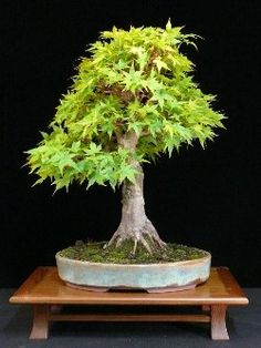 Acer bonsai tree // budget version✖️Art  Ideas  Home  Beauty ✖️Fosterginger @ Pinterest✖️