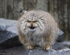 The Manul cat is a beautiful wild feline breed with the most amazing facial expressions you have ever seen! Small Wild Cats, Small Cat, Big Cats, Cats And Kittens, Beautiful Cats, Animals Beautiful, Chat Bizarre, Felis Manul, Grand Chat