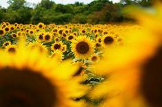 Sunflower! by Lindeberg Feller, via Flickr