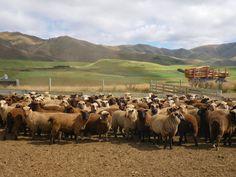 HAUNUI sheep, NZ