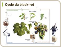 Cycle du black-rot