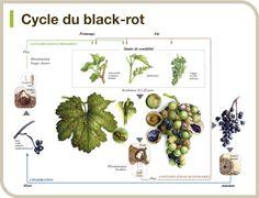 Cycle du black-rot