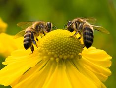 Bees might bring out a stinging sensation of fear in some, but the little critters play a vital role in our everyday life. The Queen been has been domesticated by humans for some thirteen millennia, and is the only creature besides us who manufactures food for humans. She stings only... #bees #help