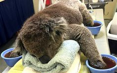 Koalas urgently need mittens made from 100 per cent cotton sheets or tea towels for their damaged paws following recent wildfires to help heal before koalas can be returned to the wild.    Australians have been urged to either donate or make mittens for koalas whose paws were burnt in the nation's recent wildfires.   Numerous koalas were killed and injured in the past week as fires spread across the states of South Australia and Victoria.