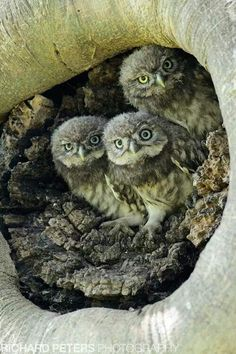 Uilskuikens:) Baby owls.