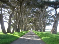 a coastal backroad is canopied by cypress trees, Sonoma