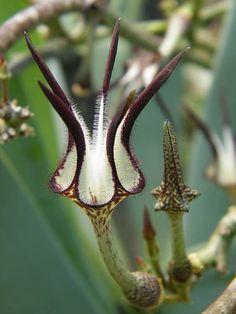 Ceropegia stapeliiformis. Ceropegia is a genus of plants within the family Apocynaceae. Order: Gentianales Family: Apocynaceae Subfamily: Asclepiadoideae Genus: Ceropegia