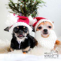 #santapaws #santapawsclub #christmascrochet #petcrochet #dogcrochet #dogcrochethat #chihuahua #chihuahualife #chihuahualove #chihuahuaoftheday #dog #christmasdog #christmasdogsofinstagram #yarn #crochet #crocheting #crochetlove  #søsternegrene #søstrenegrenegarn #royalcanin #santa #2017 #christmas