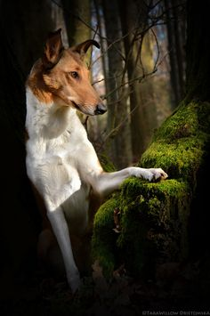 No my Smooth Fox Terrier is not a Miniature Smooth Collie! This is titled 'The Forest Queen' by Tara Willow on and she is indeed a Smooth Collie. Collie Puppies, Collie Dog, Dogs And Puppies, Scotch Collie, Smooth Fox Terriers, Rough Collie, Herding Dogs, The Fox And The Hound, Wild Dogs