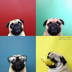 Lovely Pug In Different Expressions...