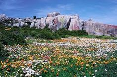 Namaqualand Daisies Namaqua Daisies and other Wild Flowers growing on every bit of unused farmland in Namaqualand, Northern Cape, South Africa Africa Map, Africa Travel, South Africa, The Beautiful Country, Beautiful Places, Champs, Great Places, Places To See, Hiking Photography