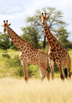 Vumbua Tours & Safaris offers small family groups private and personalized safaris & camping tours in Kruger, Mozambique & Botswana. Kruger National Park, National Parks, Camping Tours, Giraffe, Safari, Africa, Animals, Felt Giraffe, Animales
