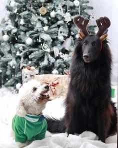 Tag me if you want to be featured Unique pawrents hoodies and Tshirts printed in USA link shop in my profile   Credit erikaperezroa :  Quédate con quien te mire como Rocco mira a Layka  Feliz Navidad  _  #pastorbelga #groenendael #pastorbelgagroenendael #belgianshepherd #belgiansheepdog #dog #petsoninstagram #pets_perfection #pets #poodles #poodlestagram #poodleskirt #perros #animal #animales #love #chritmasdog #christmastree #merrychristmas