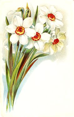 -CatnipStudioCollage-: Free Vintage Clip Art - A Bunch of Daffodils